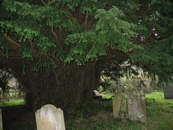 An ancient yew