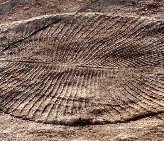 Dickinsonia Fossil Mystery May Be Solved